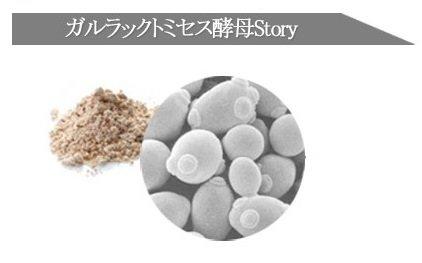 ガラクトミセス酵母
