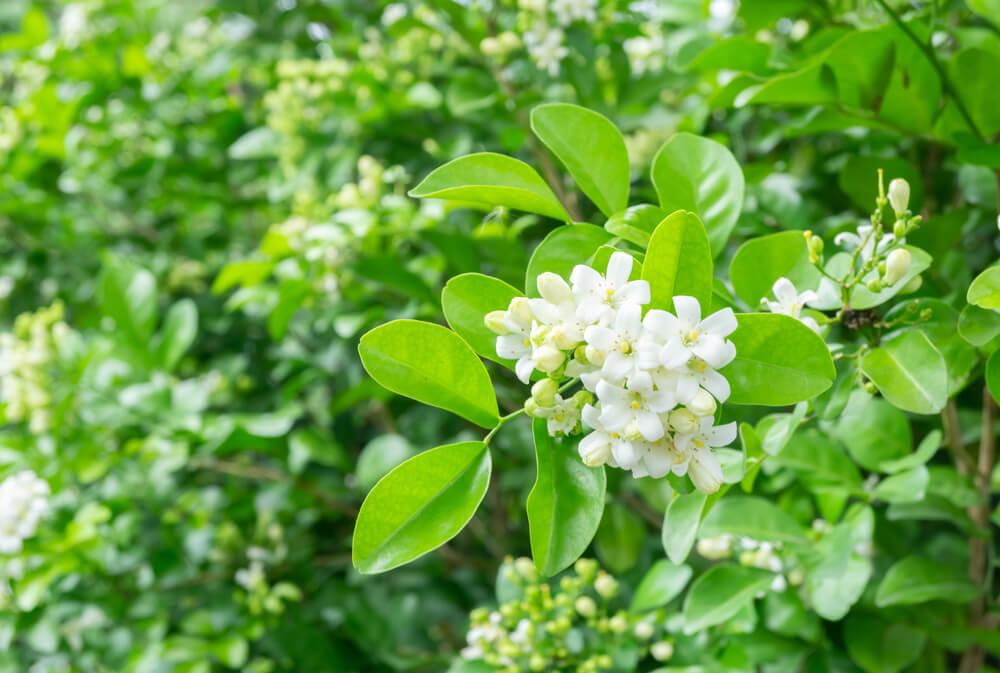 甘くてきれいな「ジャスミン」の香りは美容に、リラックスに、うれしい効能が豊富!