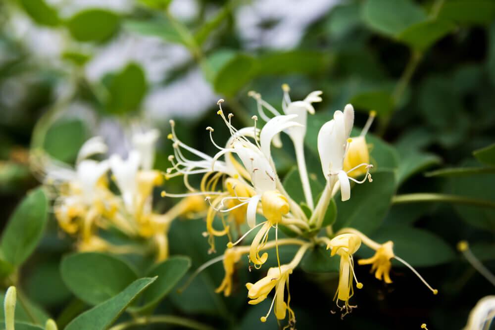 春に咲く「ハニーサックル」の香りとは?特徴とおすすめの香水を紹介