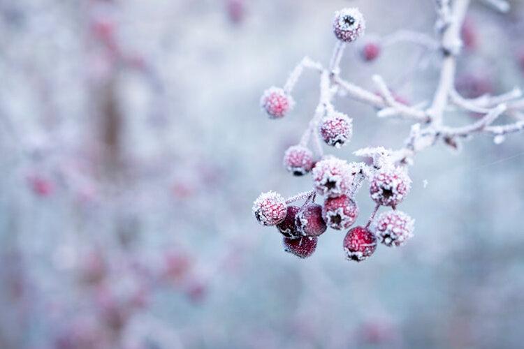 雪が積もった木の実
