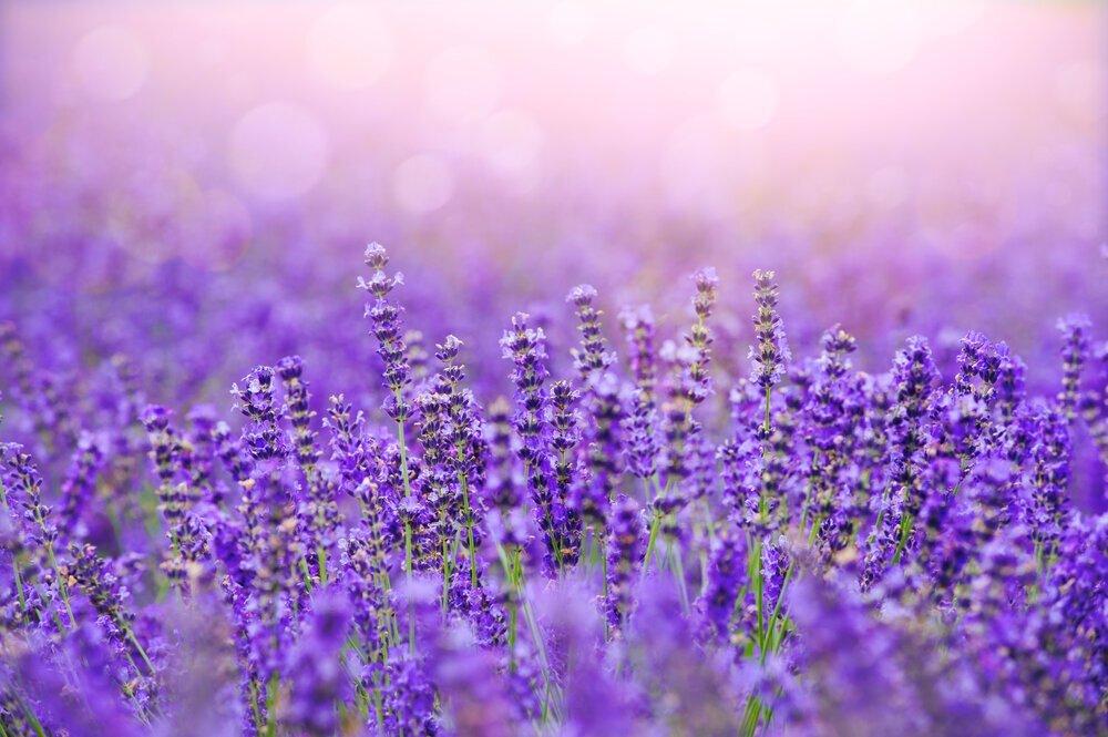 ラベンダーは心身を安らかにする香り。効果・効能やおすすめのアイテムを紹介 - Her ELEGANCE