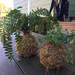 コケ玉、ハンギングプラントで空間に緑のある生活