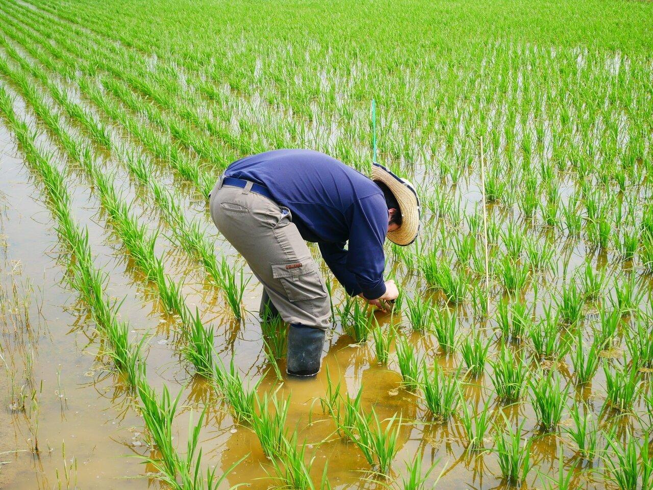 酒造りは、米づくりから。「農醸一貫」を目指した実験田での挑戦 - KUBOTAYA