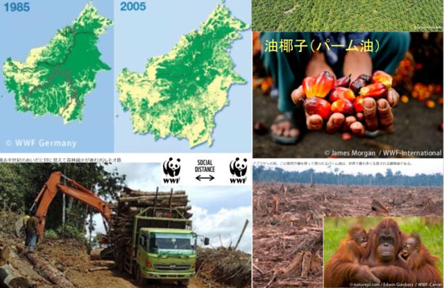 図7 ボルネオ島の熱帯雨林を伐採して進む油椰子の畑