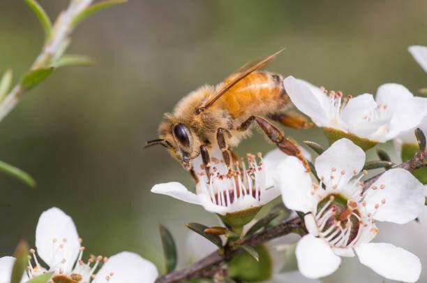マヌカハニーは「奇跡のハチミツ」