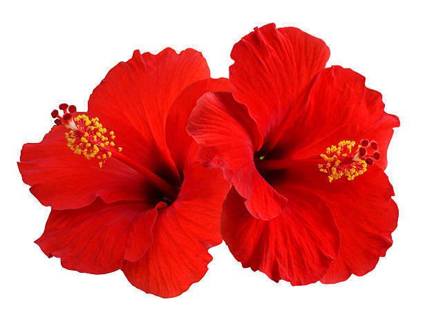 【あさイチ】情熱の花 ハイビスカスで夏の恋を楽しみたい