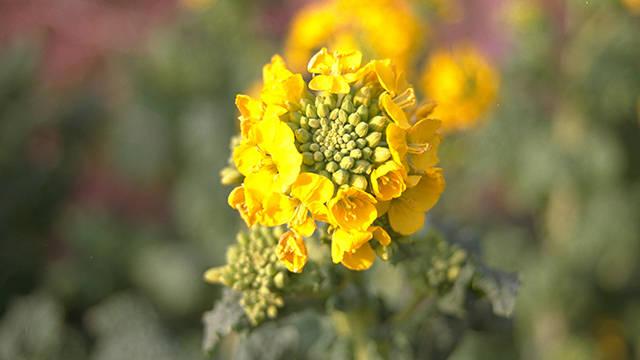 【あさイチ】菜の花をオトナ女子的に楽しむ方法
