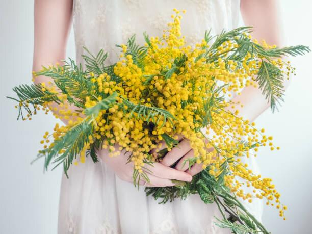 【あさイチ】グリーンスタイル ミモザは秘密の恋の花?
