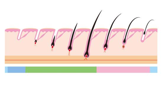 ヘア周期寿命の髪