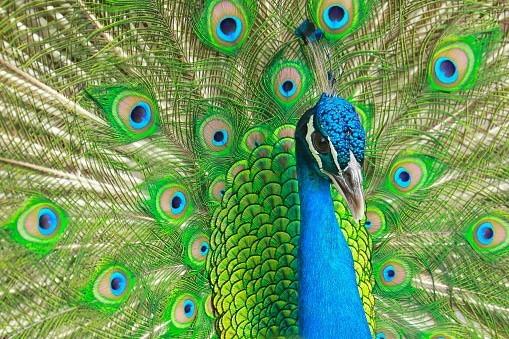 クジャクには 「孔雀(クジャク)は羽ゆえに人に獲らる」...