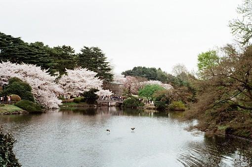 Cherry blossom in Shinjuku ...