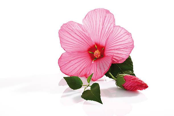 ピンクのハイビスカスの花言葉