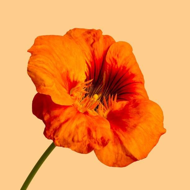 オレンジ色のハイビスカスの花言葉
