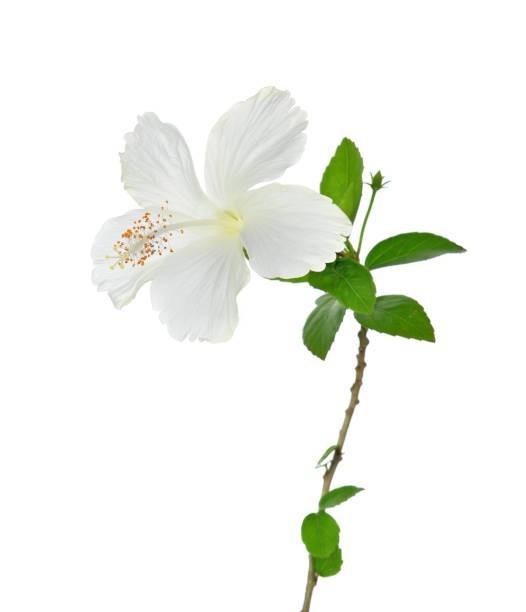 白のハイビスカスの花言葉