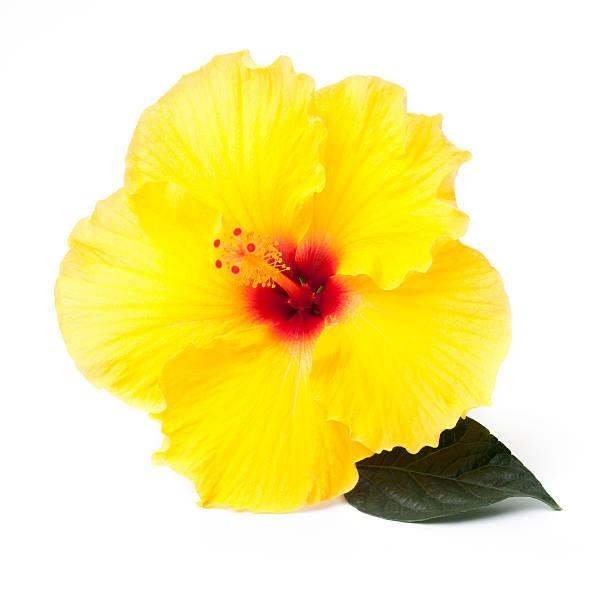 黄色のハイビスカスの花言葉