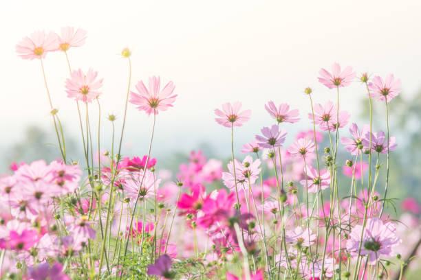 コスモス(秋桜)の日