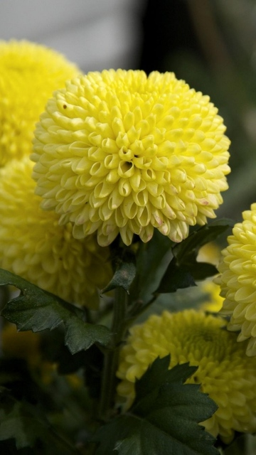 Download Wallpaper 720x1280 Dahlias, Flowers, Yellow, Close up Samsung Galaxy S3 HD Background (18220)