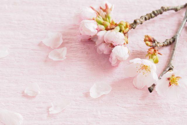 桜の花が咲く頃、内湾の浅瀬で漁獲される鯛のこと。(コト...