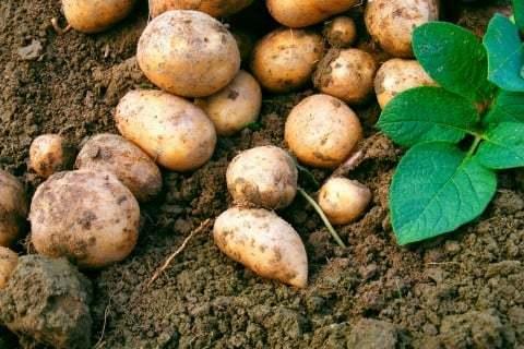 じゃがいも(馬鈴薯)の種類とそれぞれの特徴まとめ - horti 〜ホルティ〜 (32457)