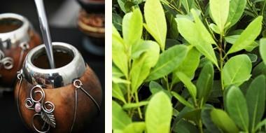 太陽のマテ茶<公式サイト> | 太陽のマテ茶について (33085)