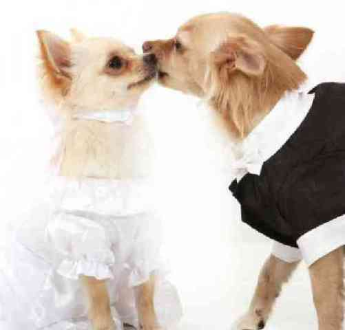 Pet Couture: Wedding Bells For Wonder Dogs | Petslady.com (34620)