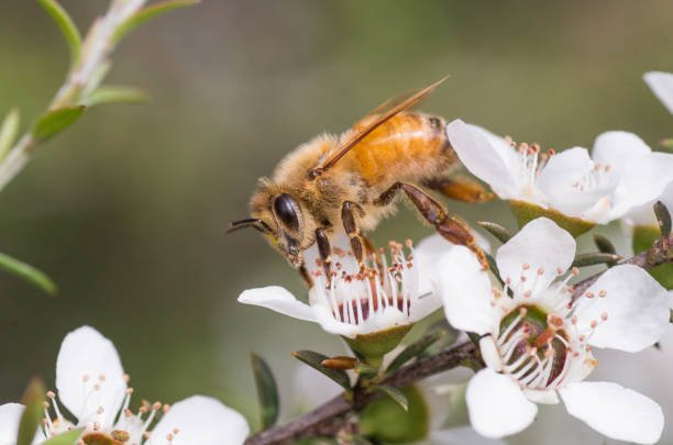 薬効と蜂蜜、マヌカから作られていますマヌカの花にミツバチ