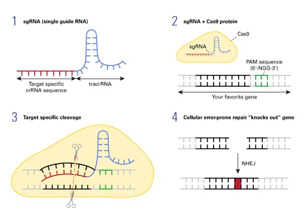 CRISPR/Cas9システムによるノックアウトの原理