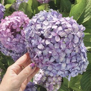 梅雨、指先に咲かせたい紫陽花ネイル!コゼットジョリの2021年梅雨限定カラーにも注目!