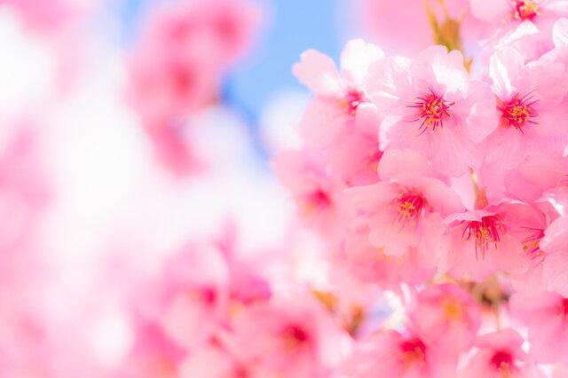 桜の香りのおすすめコスメ15選♡春気分で女子力がアップするアイテム