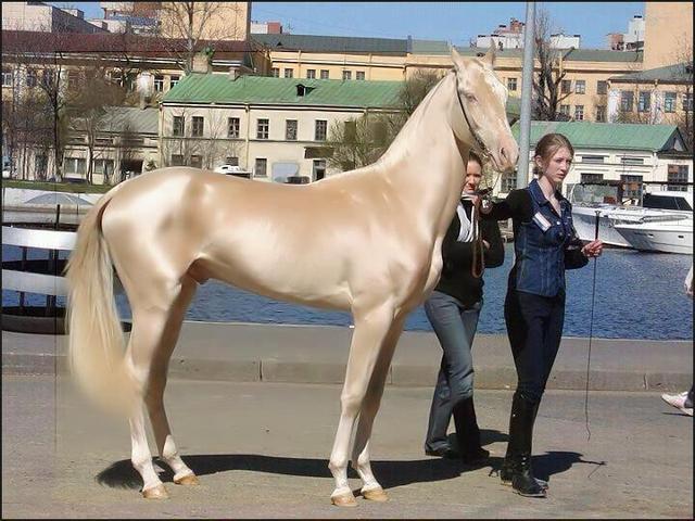 世界一美しい馬に選ばれたトルコ産の品種