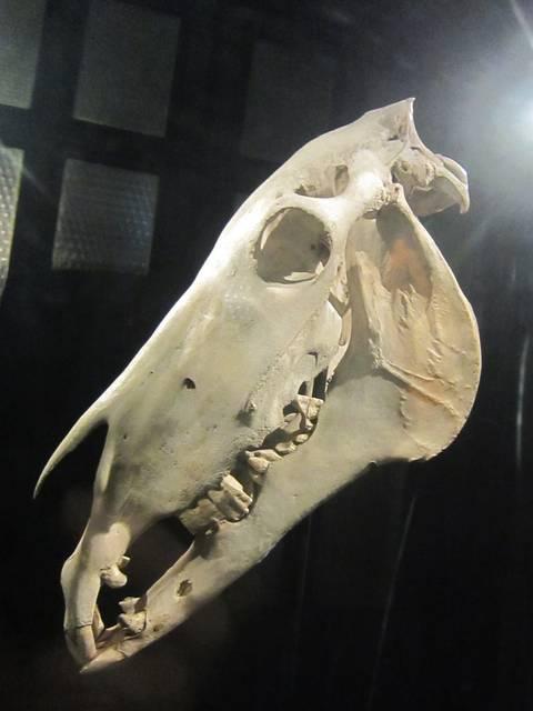 オールドビリーの頭部の骨とされる展示品
